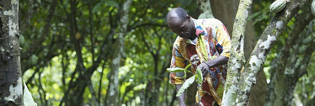 Cocoa farmer pruning a tree in Ivory Coast.