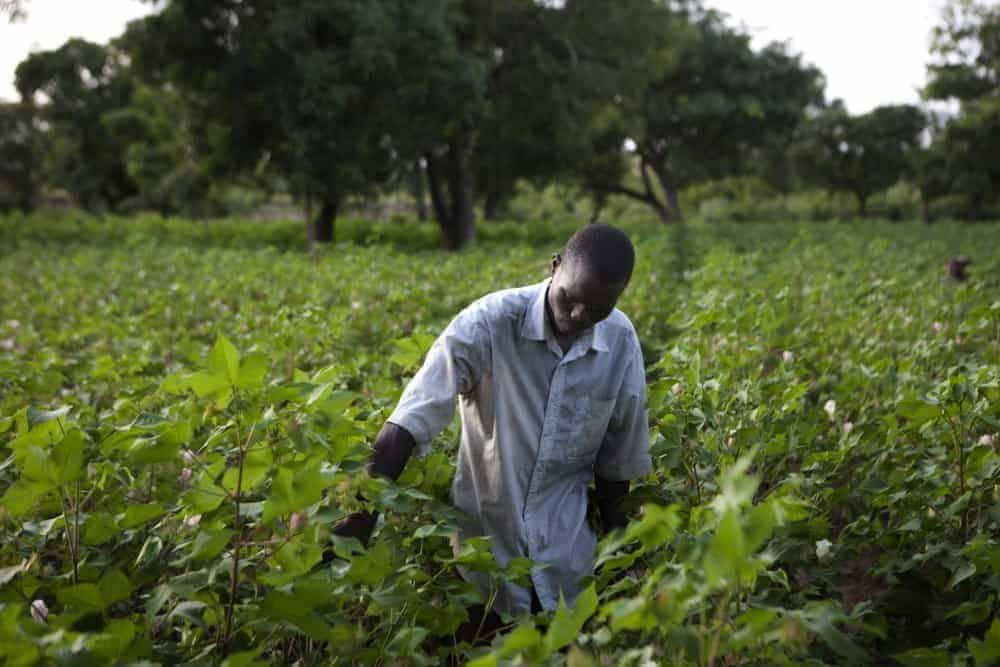 Cotton farmer Traore, 29, checks his cotton field outside Koutiala, Mali