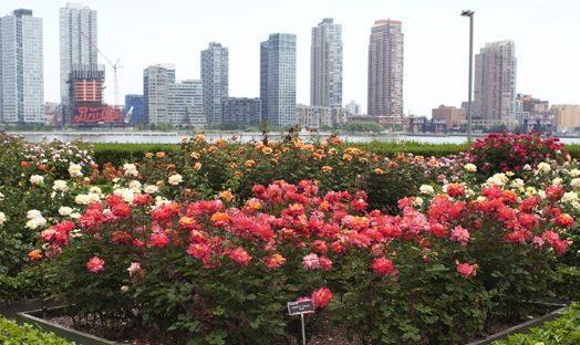 UN rose garden