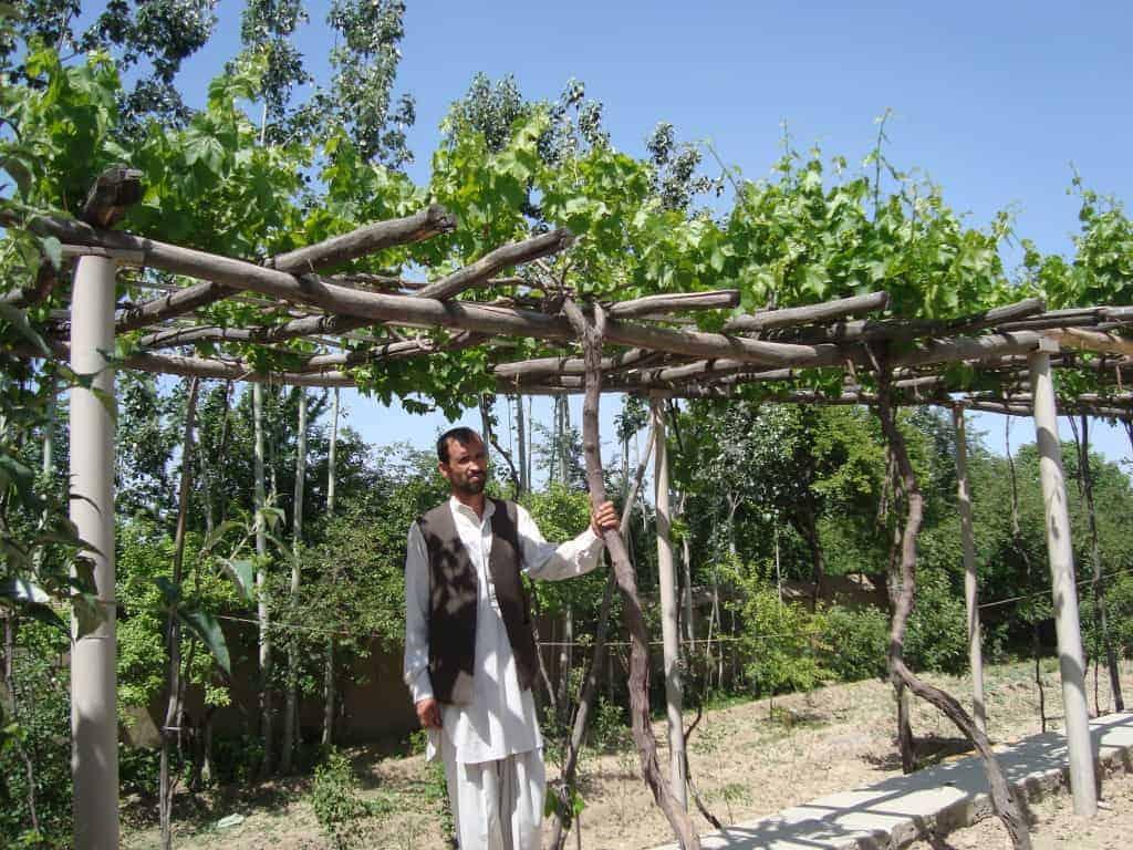 Trellis planting in Afghanistan